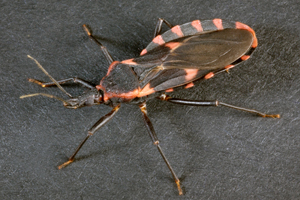 Kissing bug 1